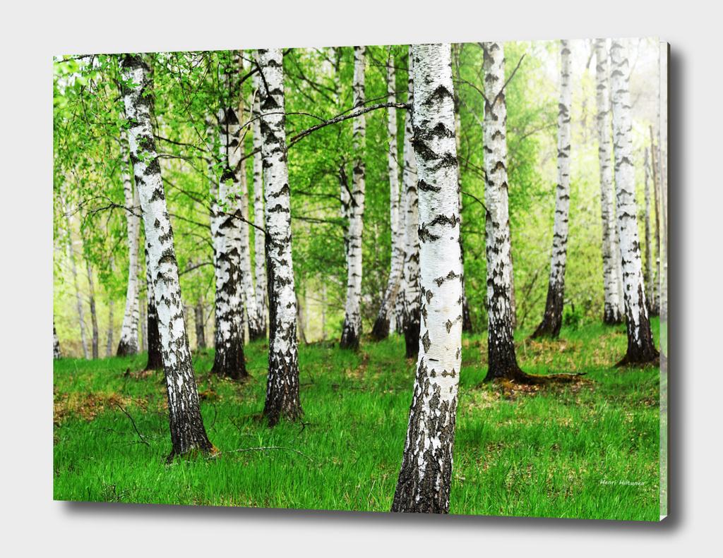 Birches 2