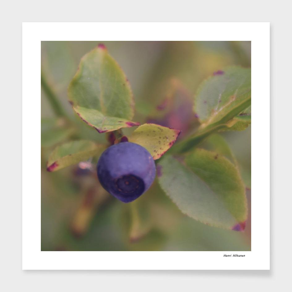 Blueberry 8