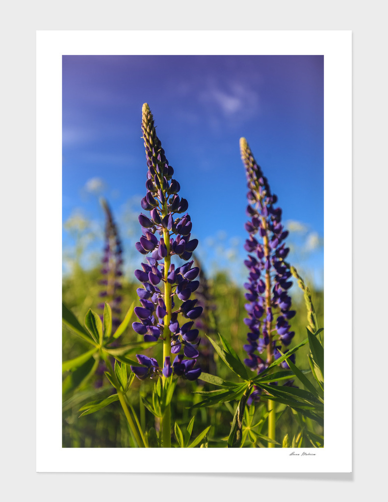 Purple lupines in a Sunny day