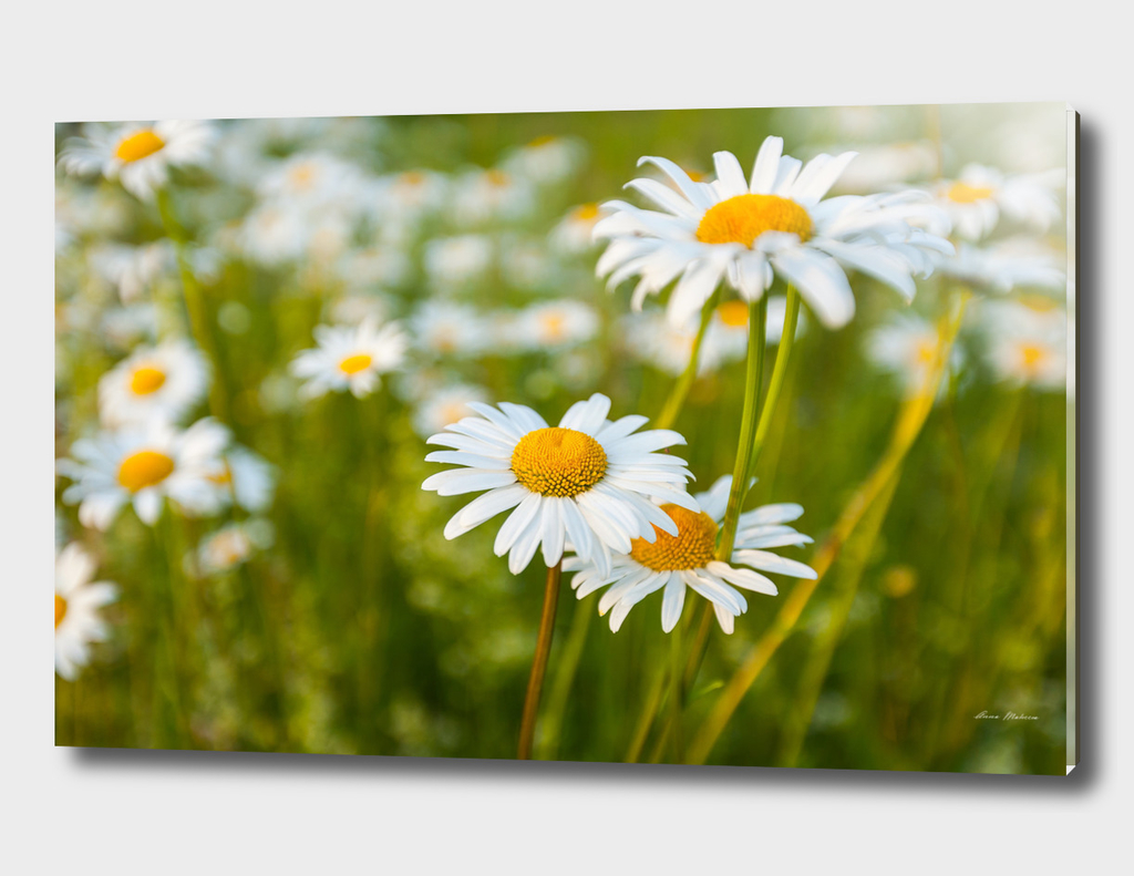 Camomile Summer Meadow Sunny Day