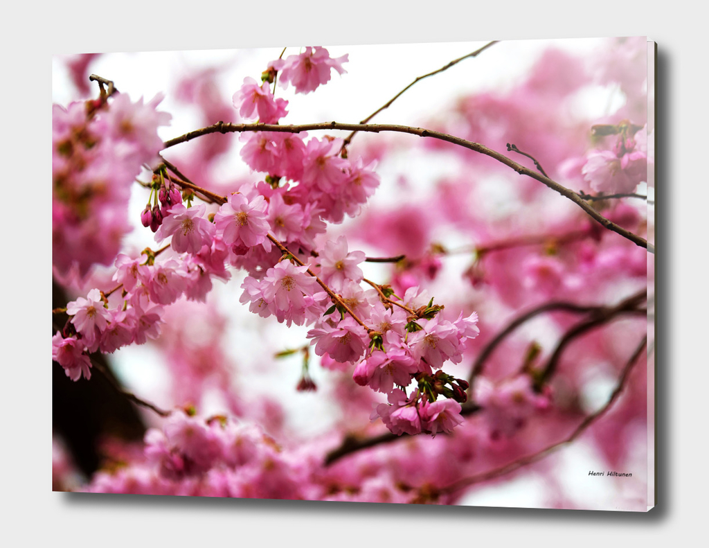 Japanese Cherry Blossoms 1