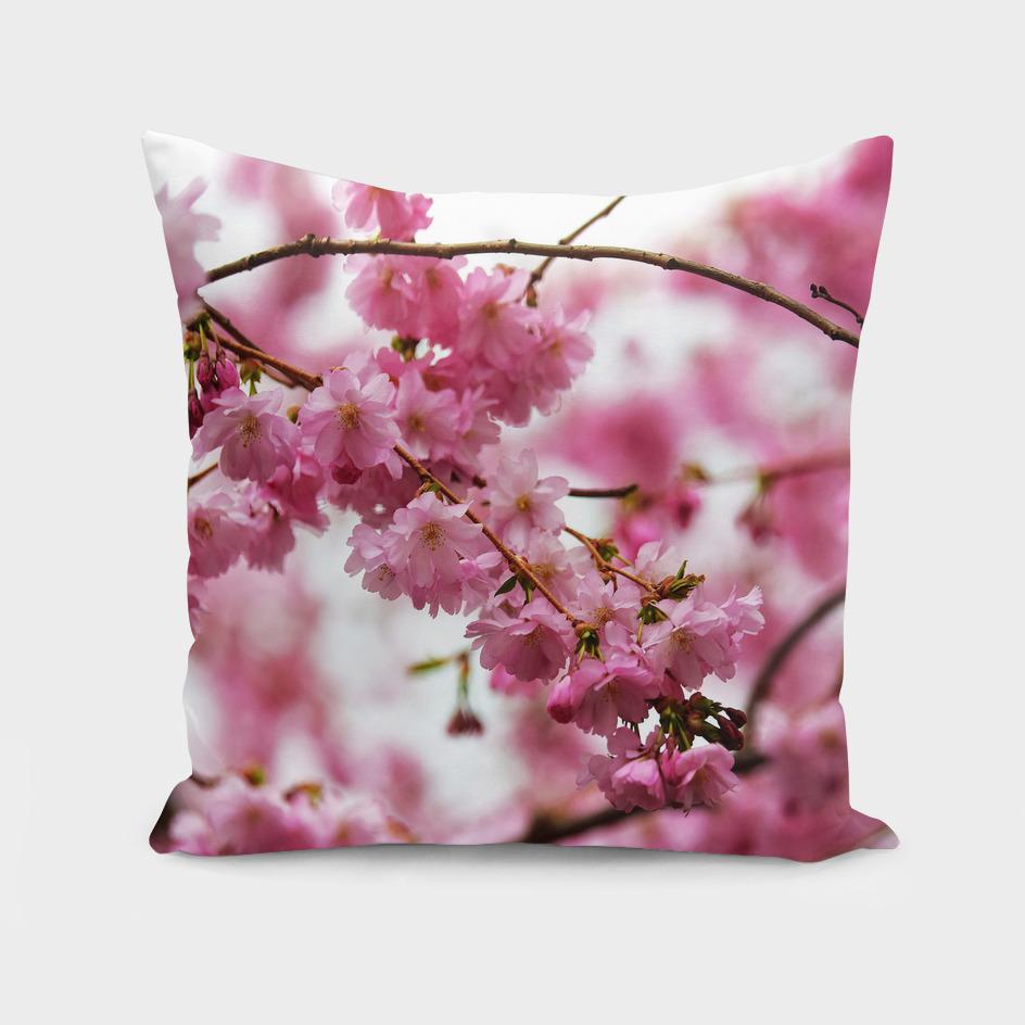 Japanese Cherry Blossoms 1