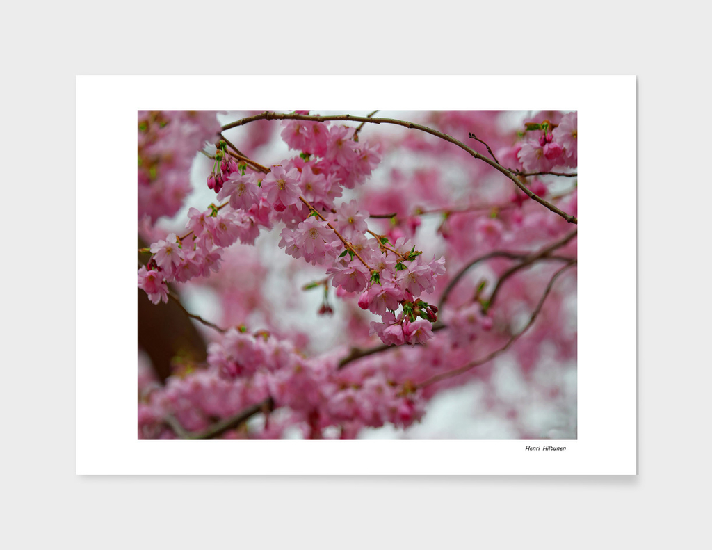 Japanese Cherry Blossoms 2