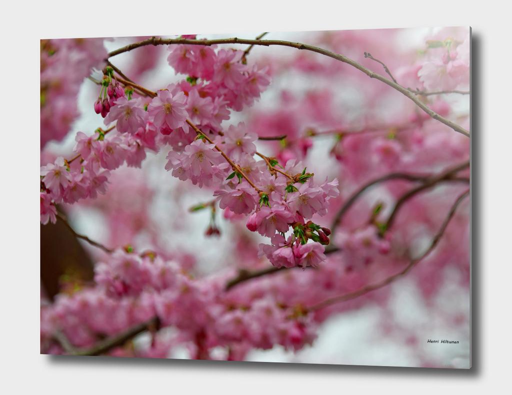 Japanese Cherry Blossoms 2