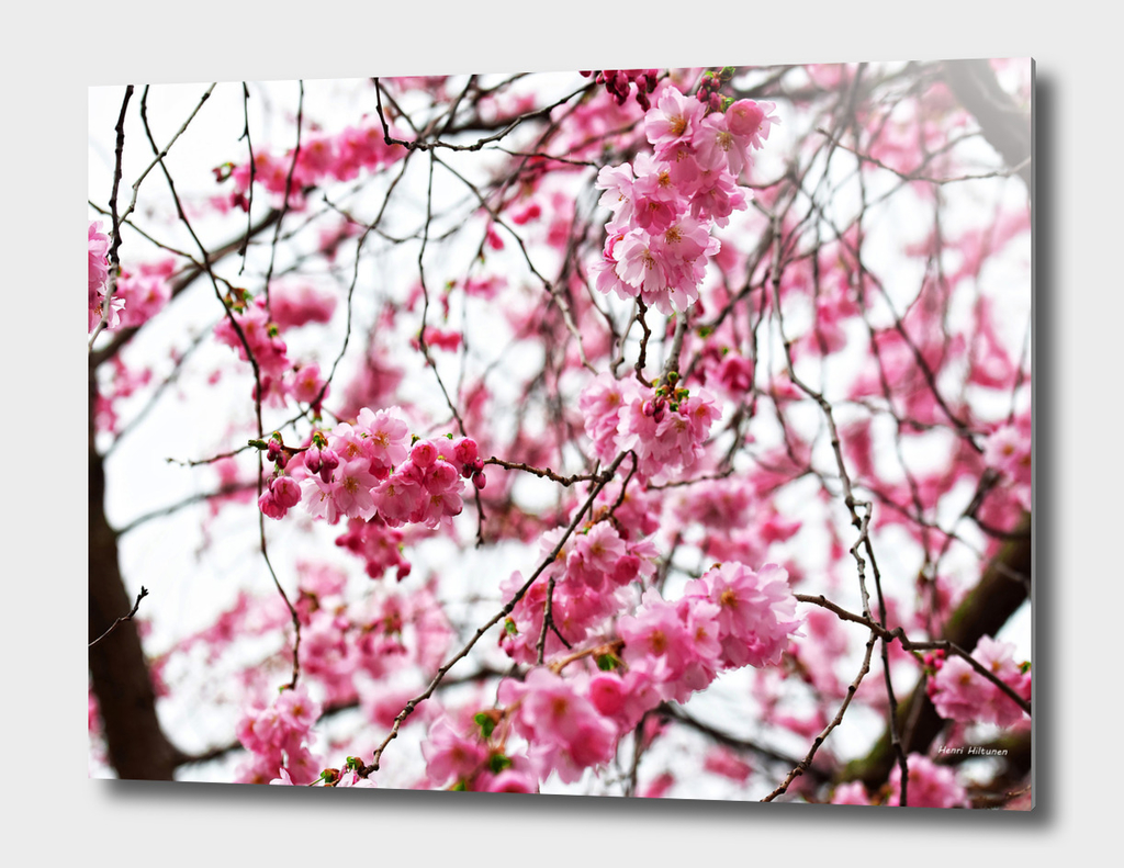Japanese cherry blossoms 3