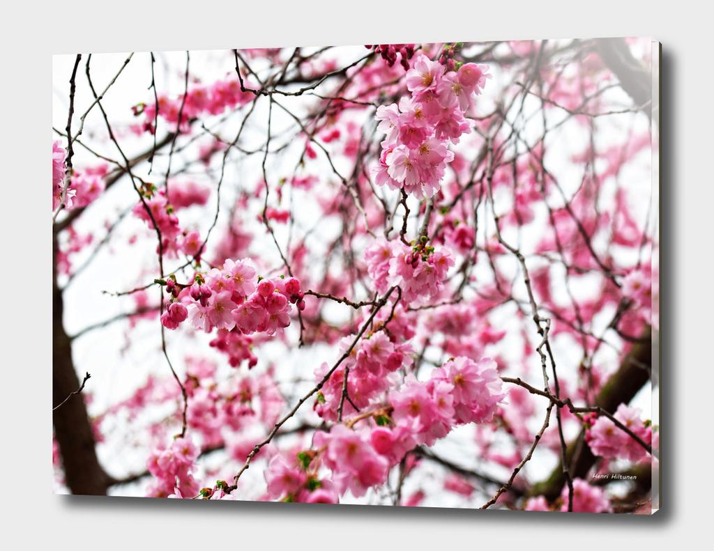 Japanese cherry blossoms 3