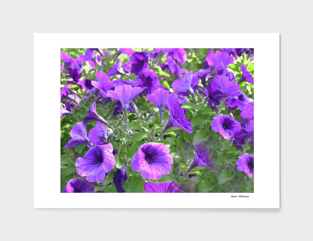 Petunia lilac