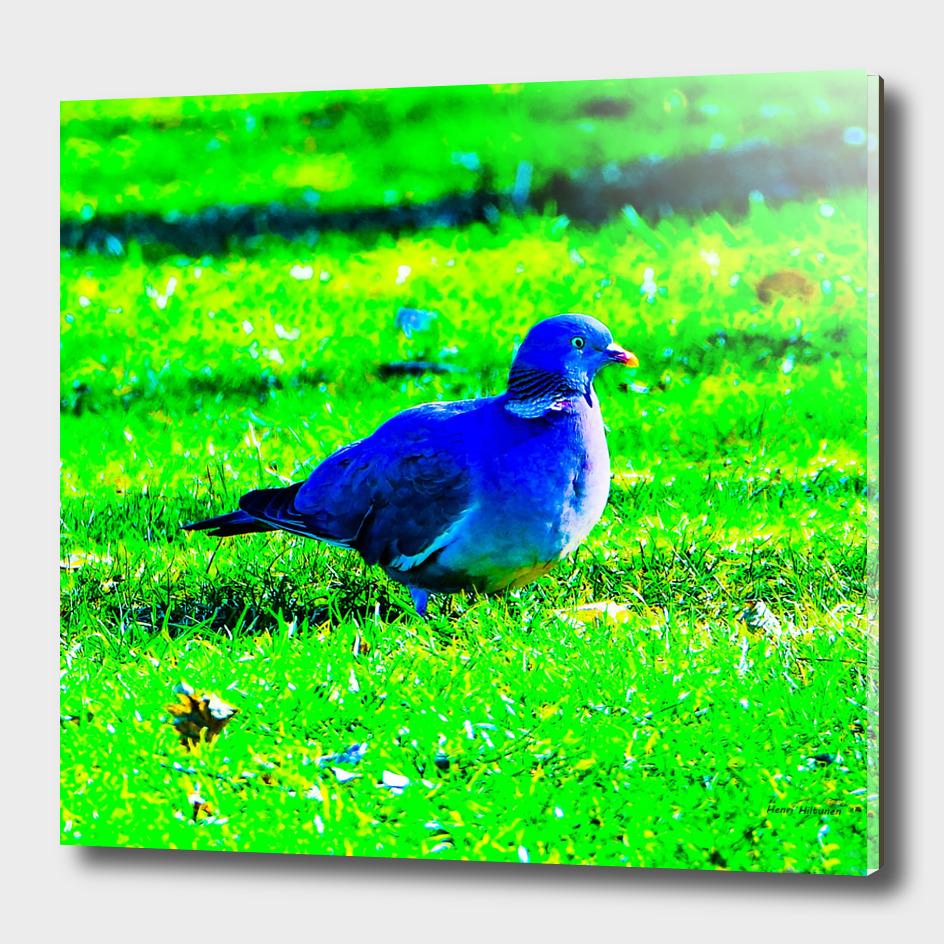Pigeon 1