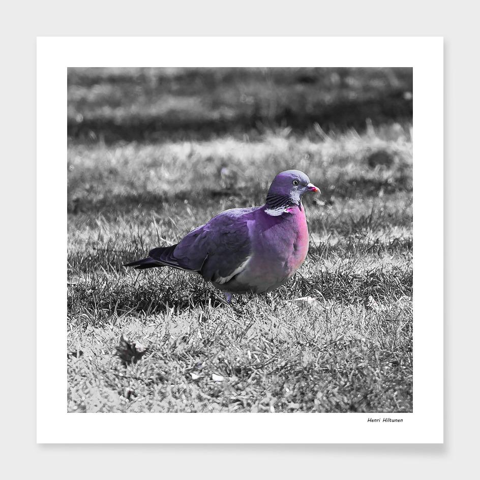 Pigeon 4
