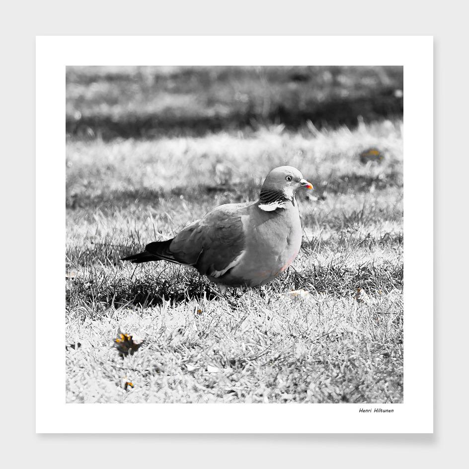 Pigeon 7