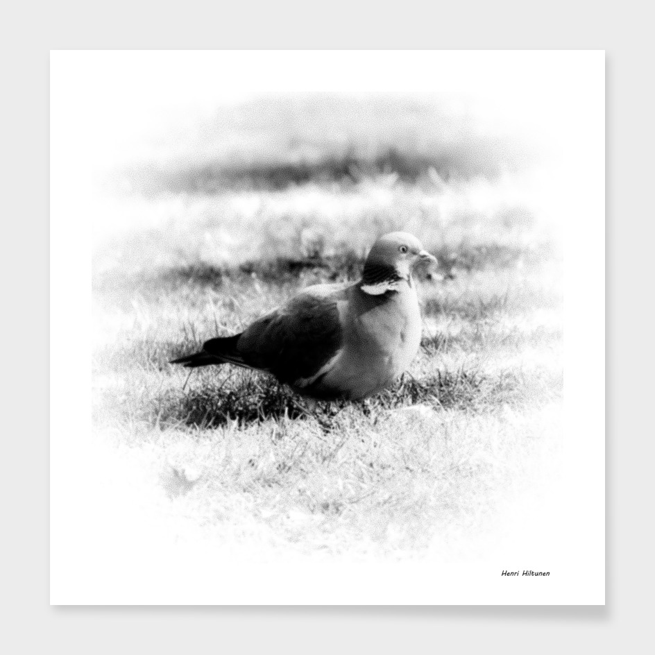 Pigeon 9