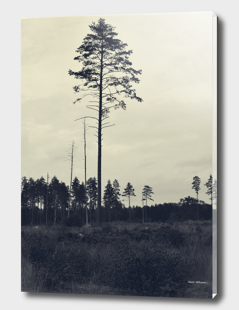 Pine tree 4