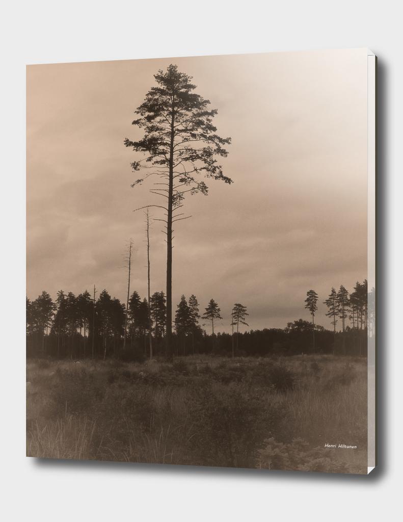 Pine tree 7