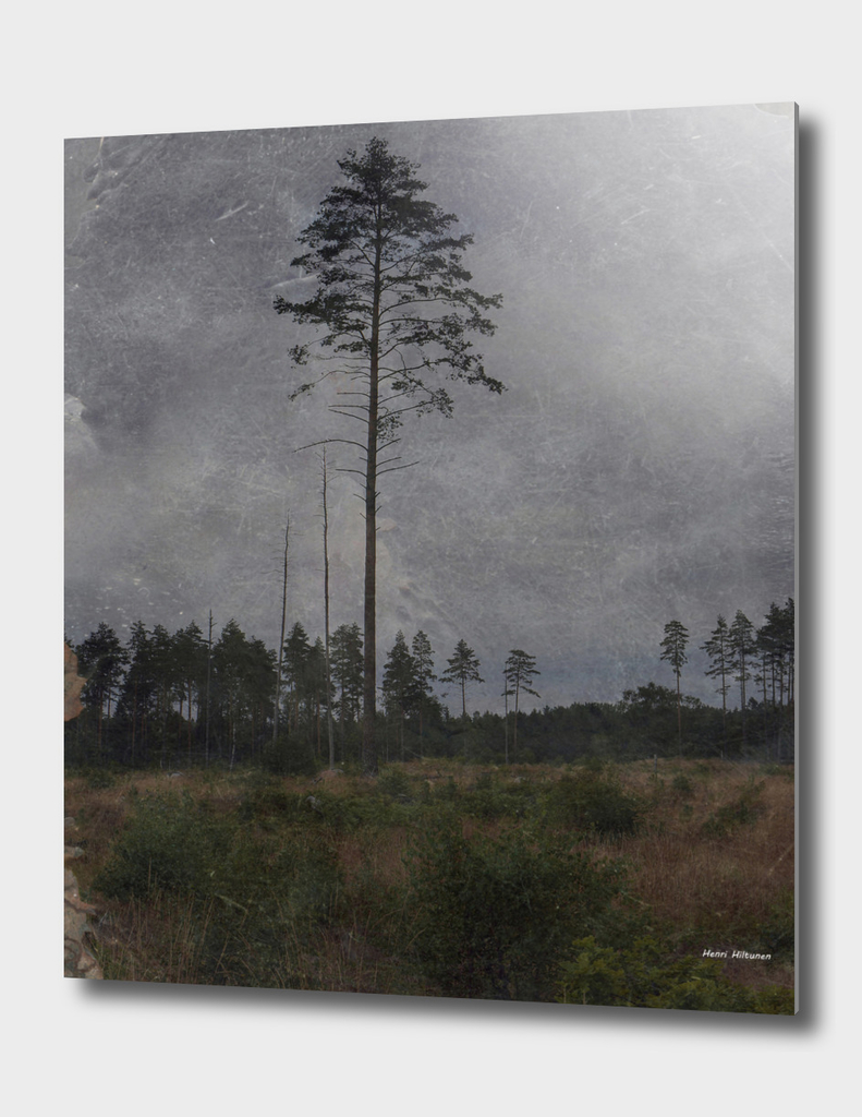 Pine tree 8