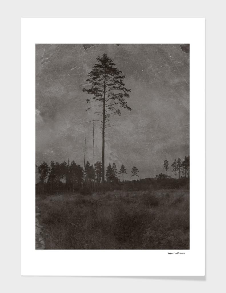 Pine tree 9
