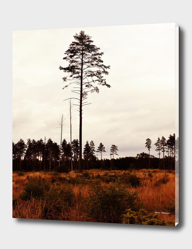 Pine tree 10