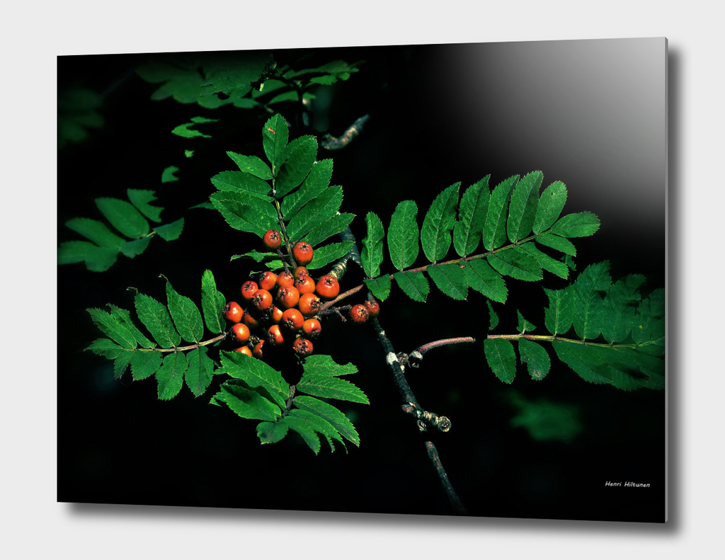 Rowan berry 1