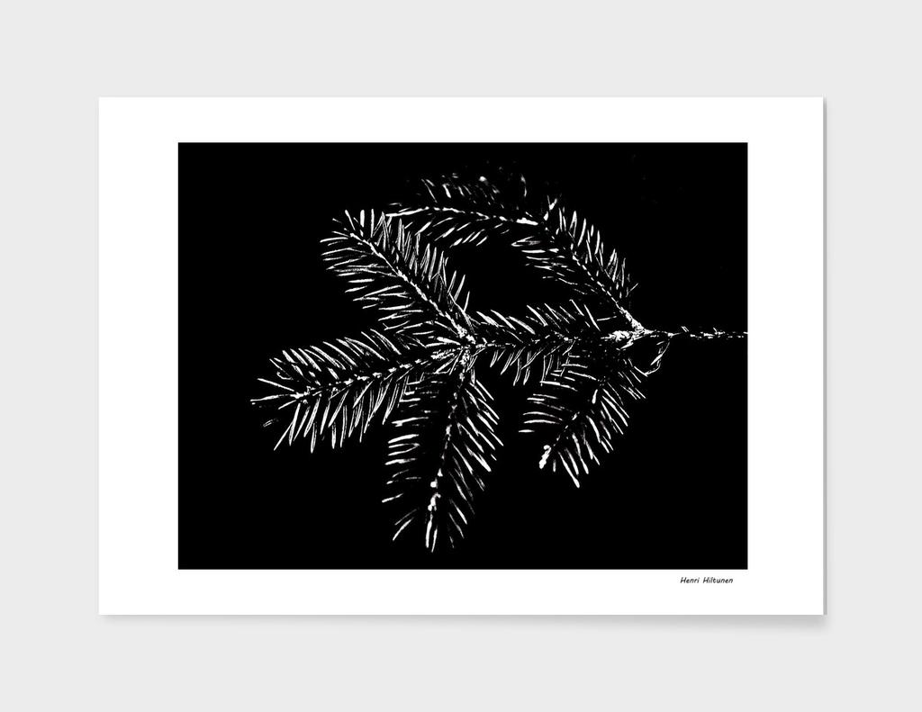 Spruce needle 2