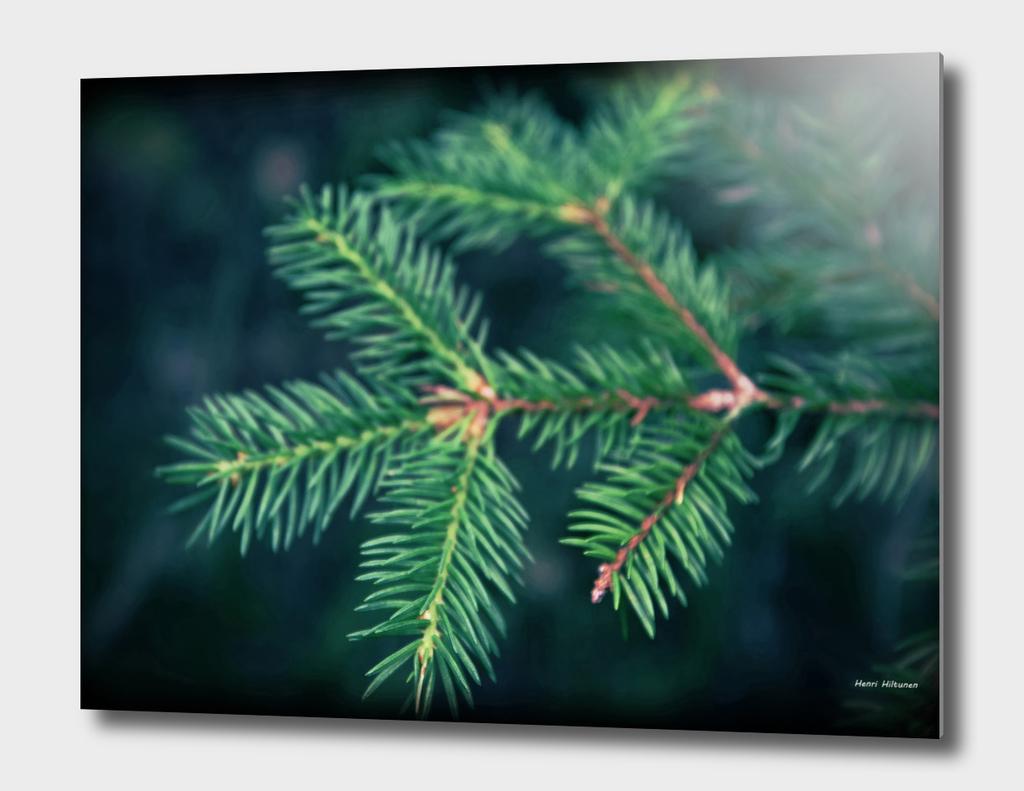 Spruce needle 3