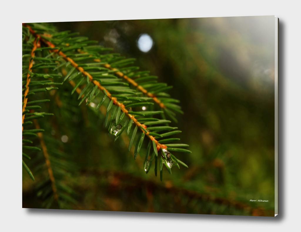 Spruce Needle 4