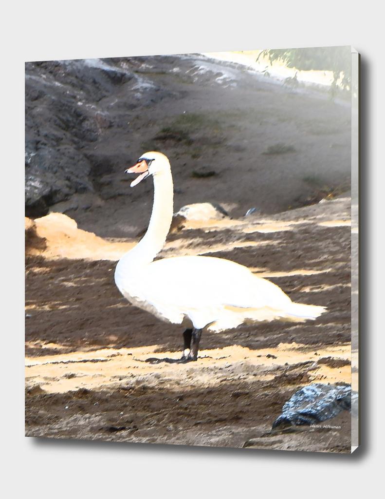 Swan 6