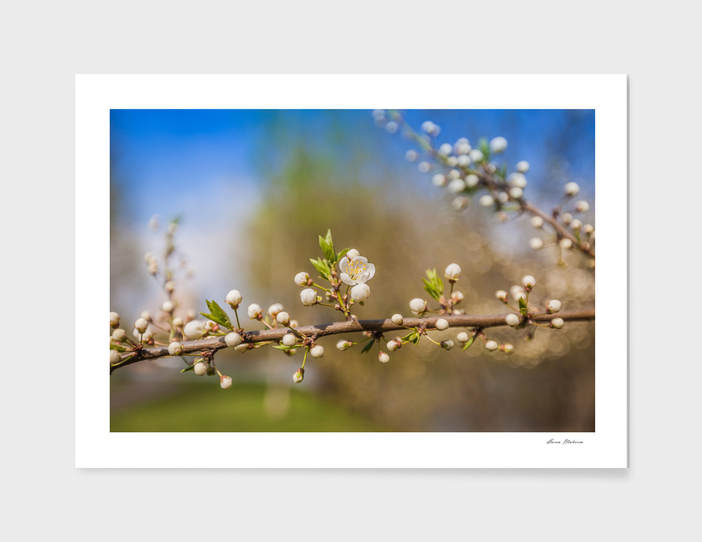 White Cherry Flowers Branch Spring Sunny Day