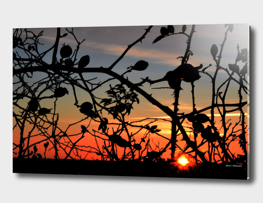 Rose hips in sunrise
