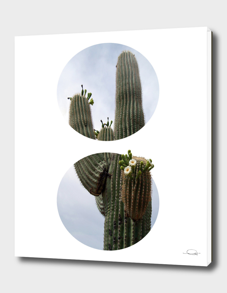 Circled Cactus Flowers
