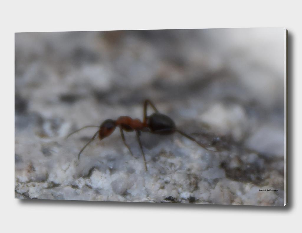 Ant 1