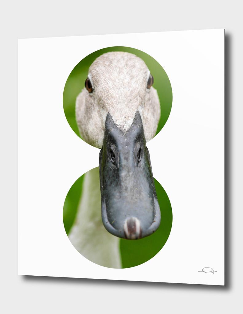 Circled Duck