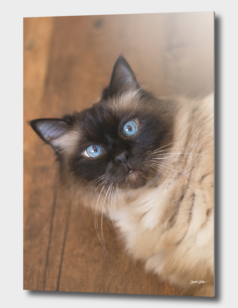 Blue Eyed Ragdoll