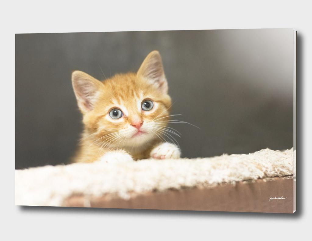 Adorable Ginger Kitten