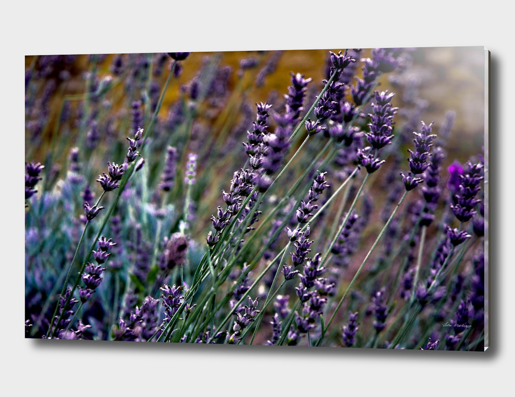 French Lavender Meadow