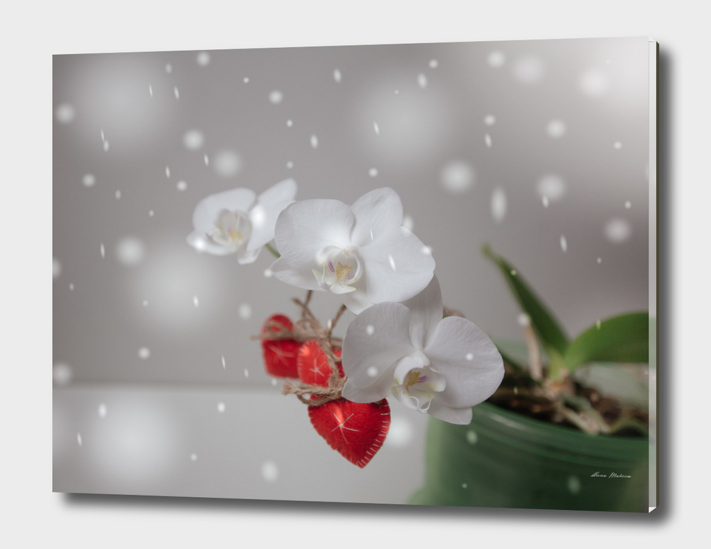 Hearts Valentines Day Red White Orchid Flower