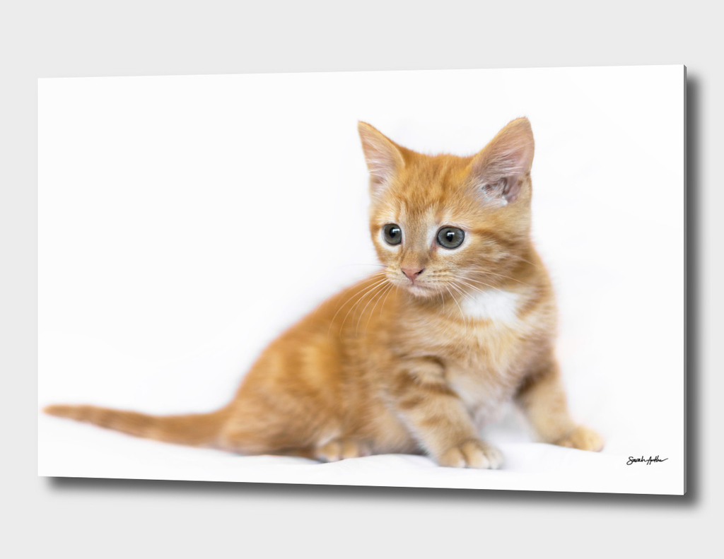 Ginger Kitten