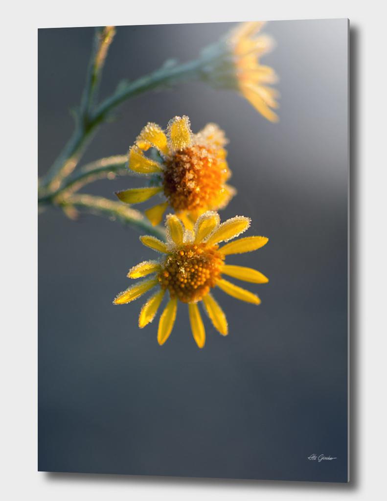 Frozen yellow flowers