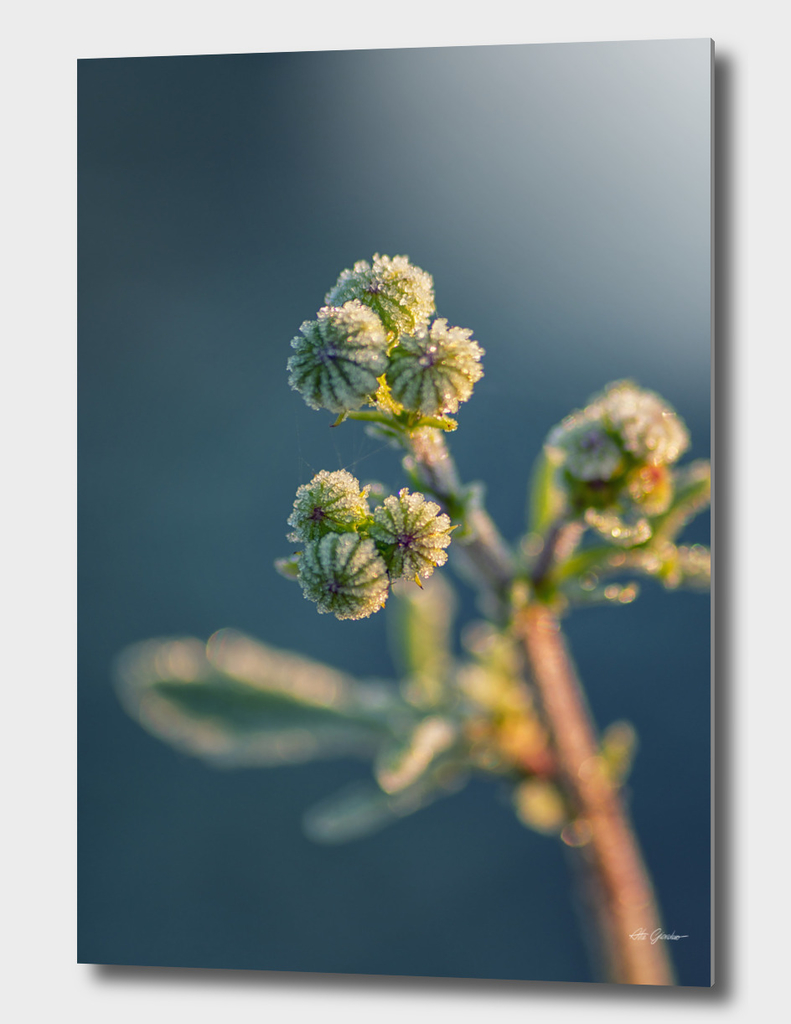 Frozen bud flowers