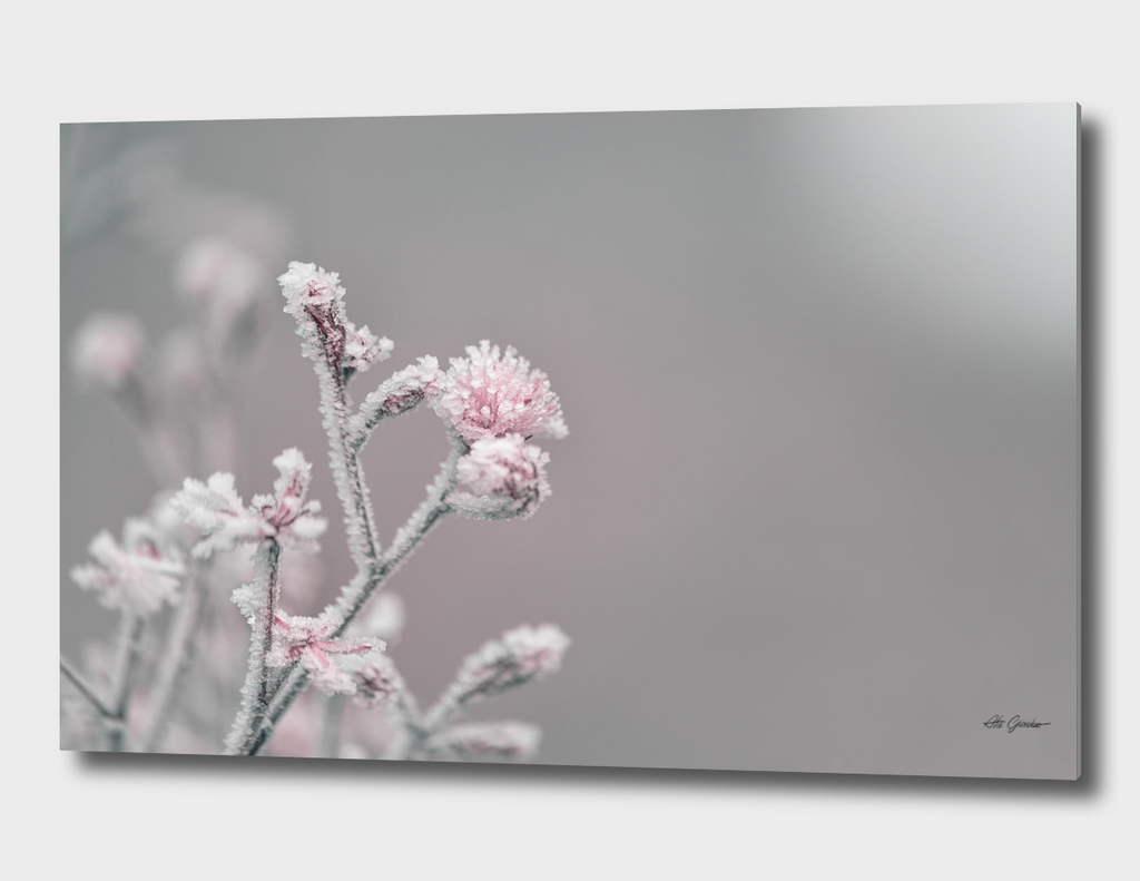 Frozen pink flower