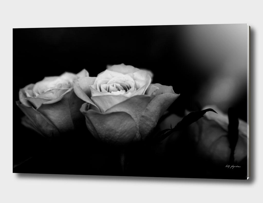 Where roses never dies....