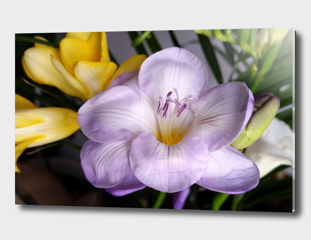 open violet freesia
