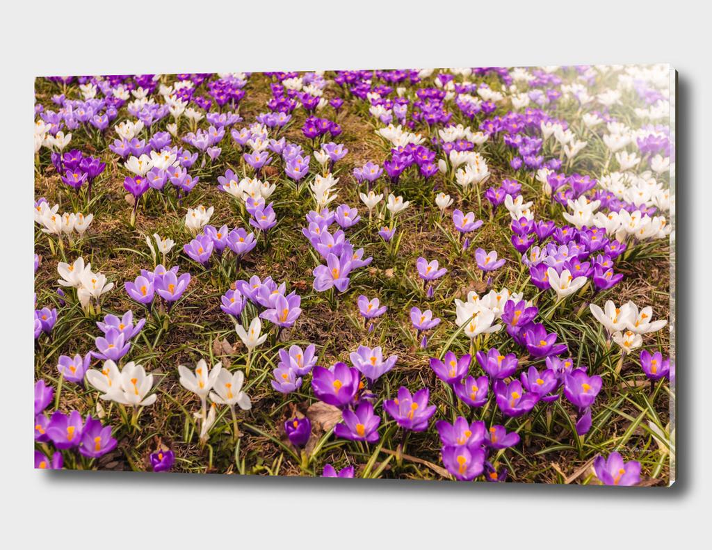 Glade of beautiful flowers crocuses