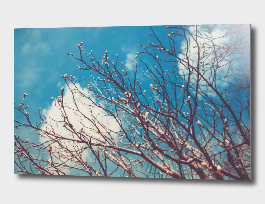 Spring Trees Buds Sunny Day Blue Sky
