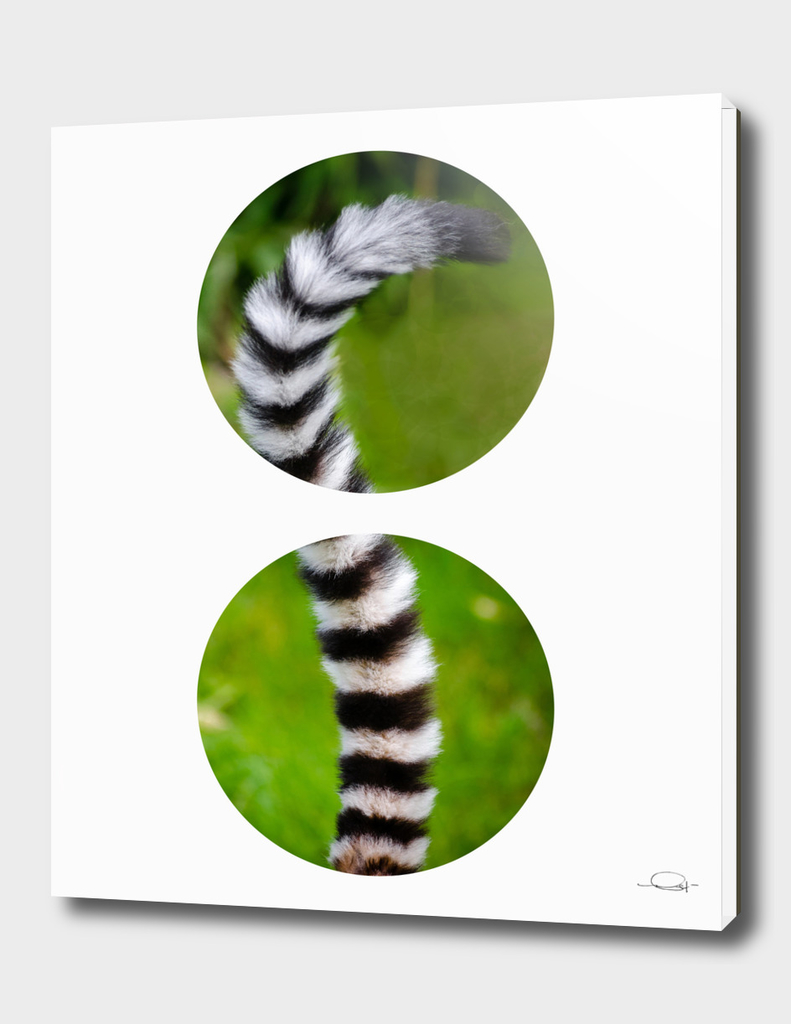 Circled Lemur Tail
