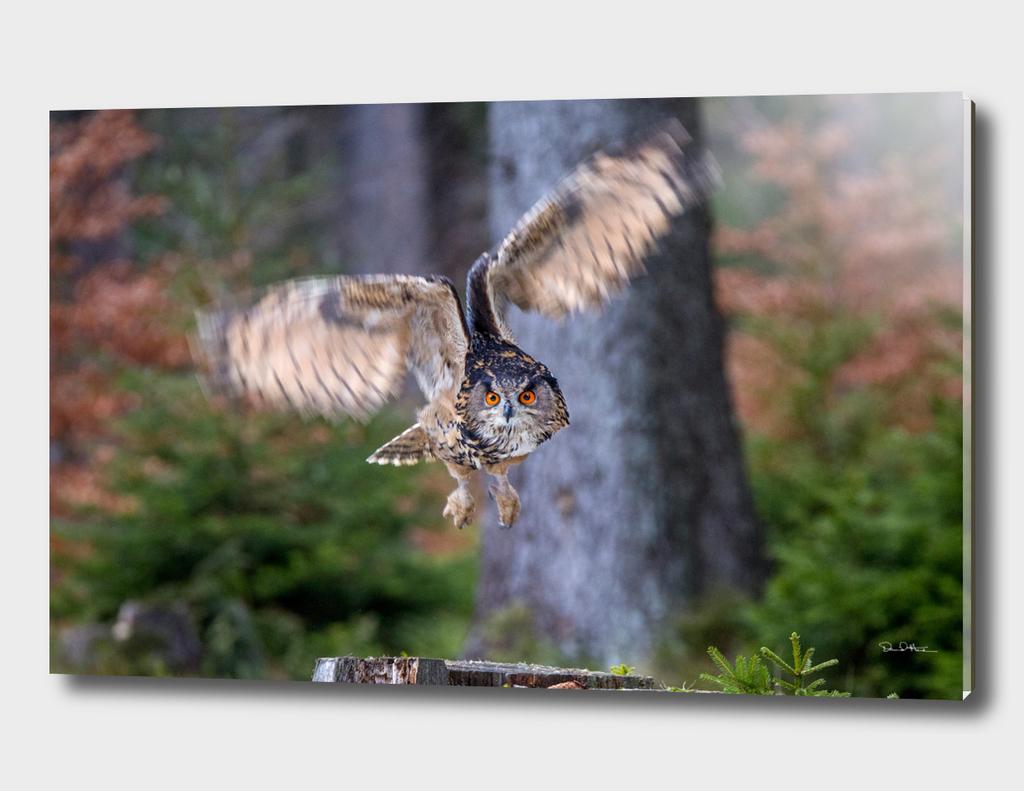 Eagle Owl Hunting