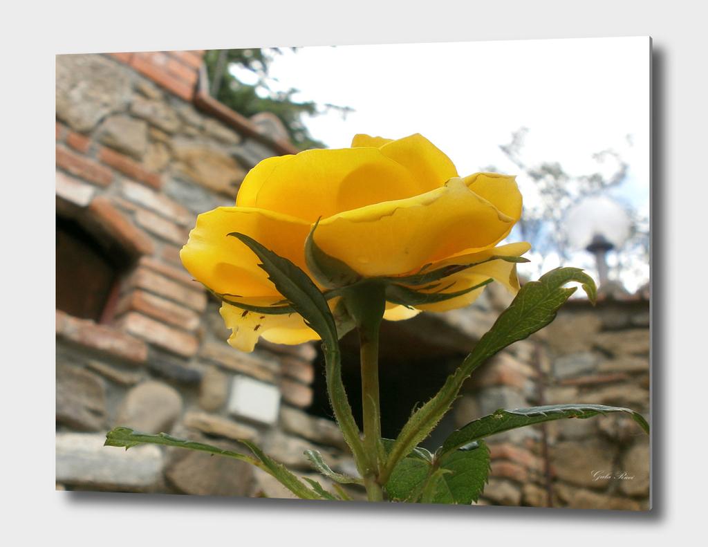 Tuscan yellow rose