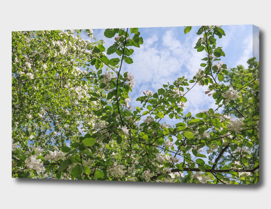 Spring, Apple blossoms, White, Pink Flowers sunlight