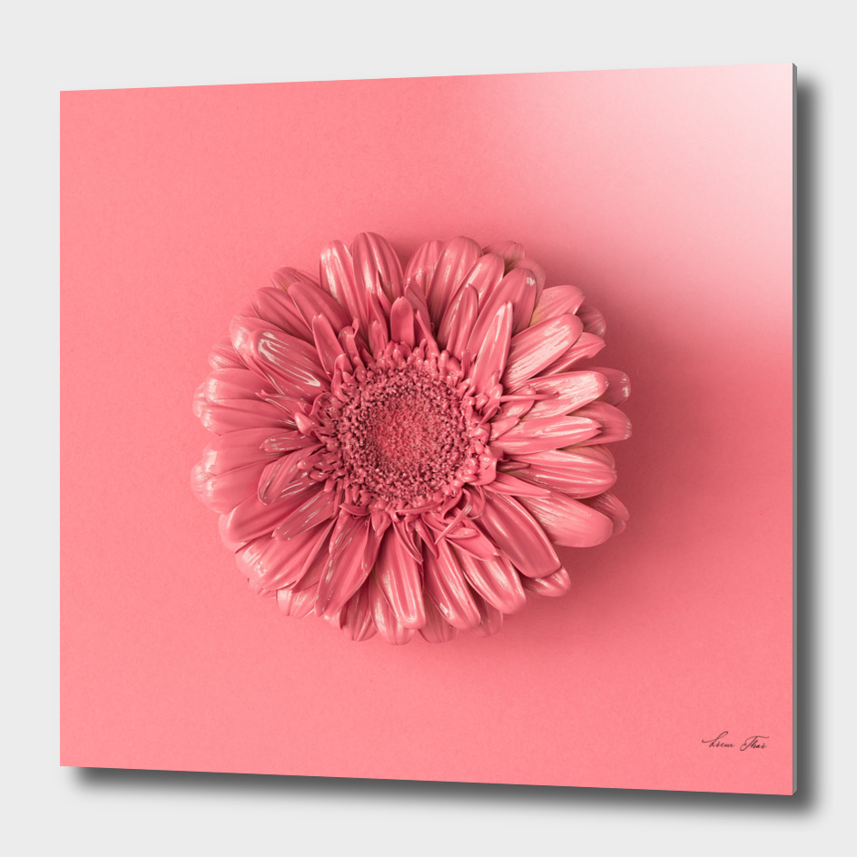 Daisy Flower Pink Background
