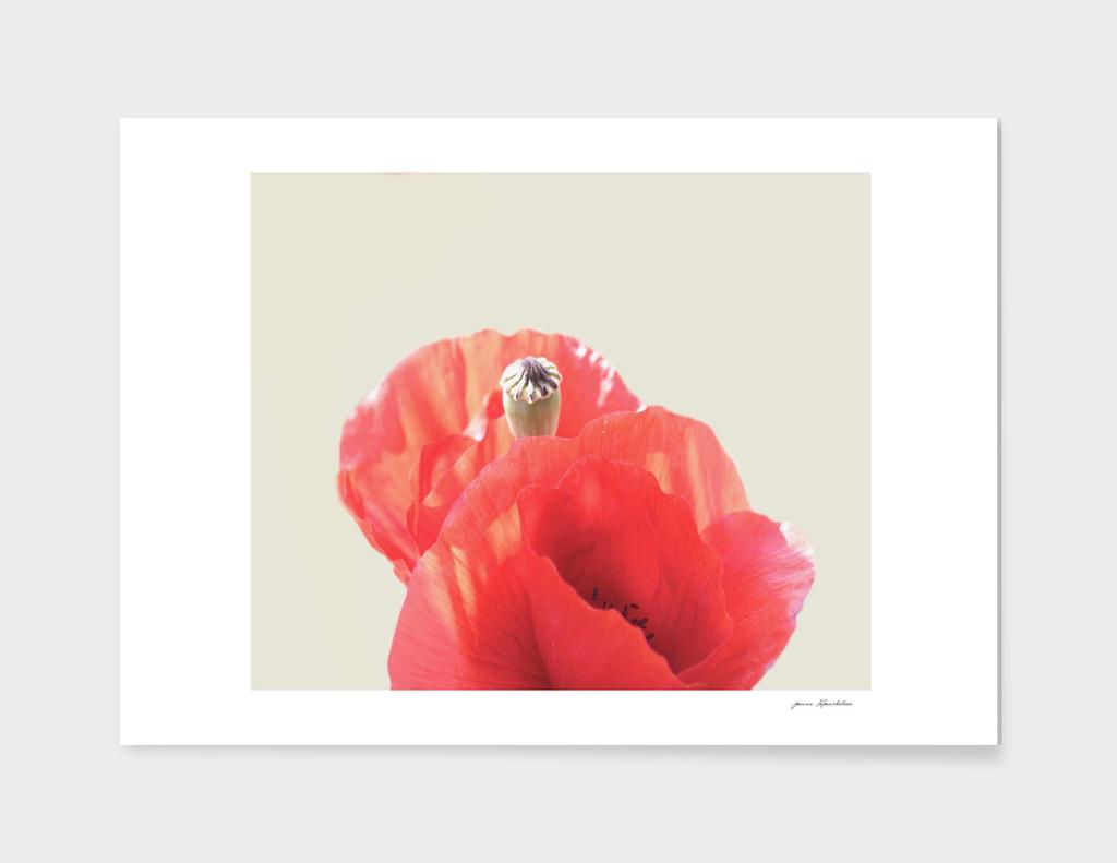 Pastel Poppies Close-up