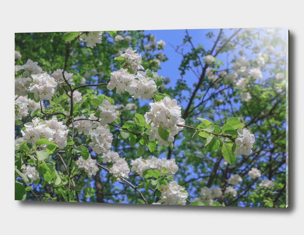 White Apple Flowers Branch Close Up Spring