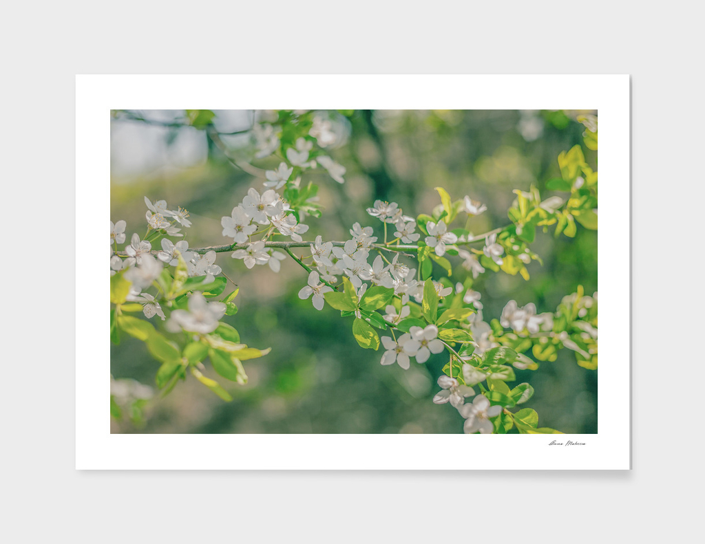 White Cherry Flowers Branch Close Up Spring